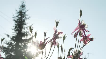 otsu : Aquilegia against the backdrop of the sun in the garden stock footage video