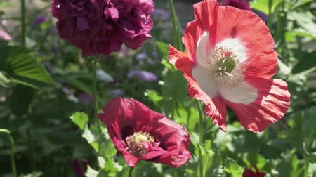 pólen : Bee collects the nectar on the garden poppy stock footage video Vídeos