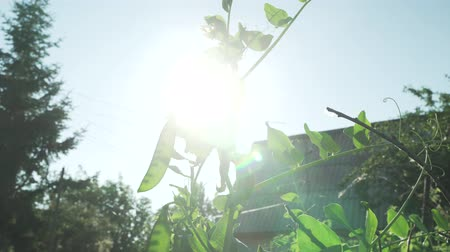 торф : Green peas are ripening in the garden stock footage video Стоковые видеозаписи