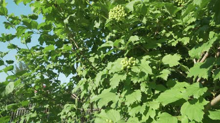 fruitful : Berries of a viburnum ripen on a bush stock footage video