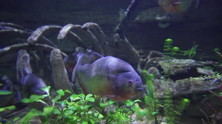 tail fin : Piranhas are floating in a freshwater aquarium stock footage video