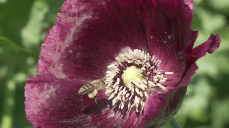 legion : Bee collects the nectar on the garden poppy slow motion stock footage video