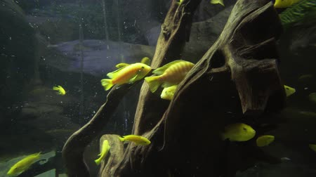 экзотичность : Beautiful fish float in a freshwater aquarium stock footage video