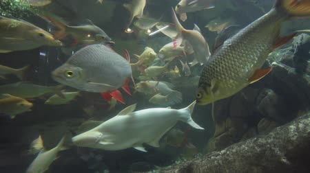 snag : Beautiful fish float in a freshwater aquarium stock footage video