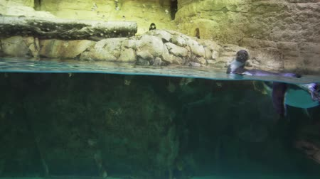 flippers : Banded penguin in an artificial open-air cage with a swimming pool stock footage video