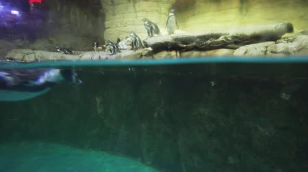 banded : Banded penguin in an artificial open-air cage with a swimming pool stock footage video