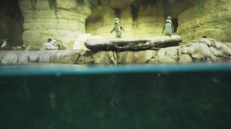 sempre viva : Banded penguin in an artificial open-air cage with a swimming pool stock footage video