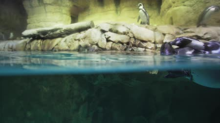 takımadalar : Banded penguin in an artificial open-air cage with a swimming pool stock footage video