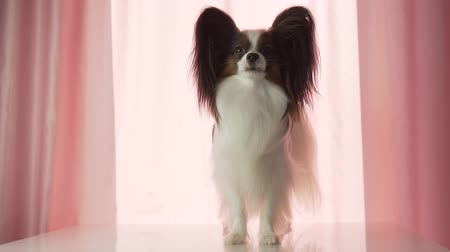 spanyel : Papillon happily waves his tail and barks slow motion stock footage video