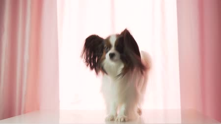 континентальный : Papillon happily waves his tail and barks slow motion stock footage video
