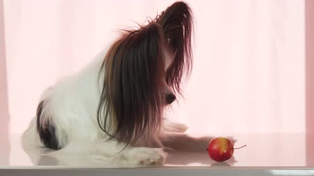континентальный : Papillon is eating a small red apple stock footage video Стоковые видеозаписи