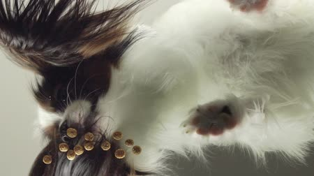 üç renkli : Papillon eats dry food behind the glass slow motion stock footage video Stok Video