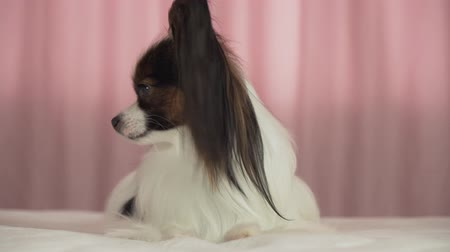obediente : Beautiful dog Papillon lies on the bed and barks stock footage video