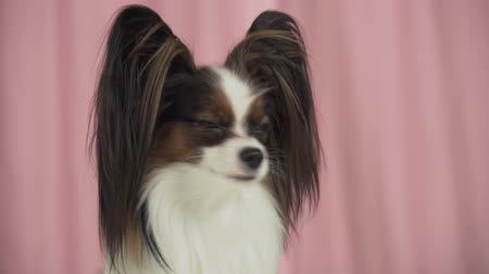 obediente : Beautiful dog Papillon close up a barks stock footage video