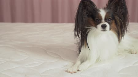 obediente : Beautiful dog Papilon lying on the bed stock footage video
