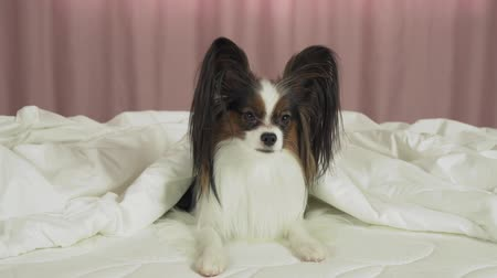 obediente : Beautiful dog Papillon lies under a blanket on the bed and looks around stock footage video