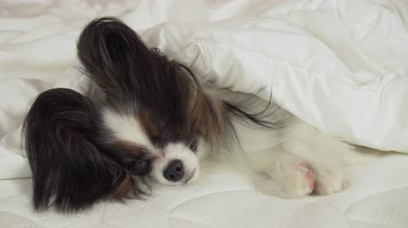 large breed dog : Beautiful dog Papillon lies under a blanket on the bed and looks around stock footage video