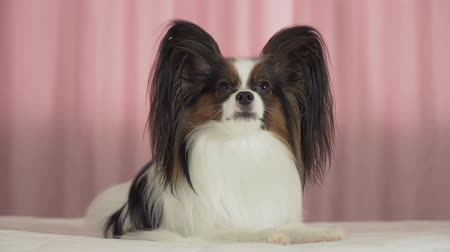spanyel : Beautiful dog Papillon lies on the bed and looks around stock footage video