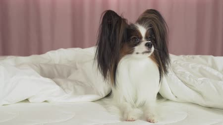 hasır : Beautiful dog Papillon lies under a blanket on the bed and looks around stock footage video