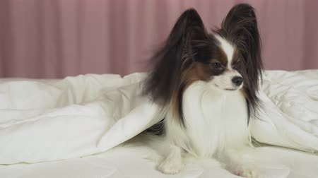košíček : Beautiful dog Papillon lies under a blanket on the bed and looks around stock footage video