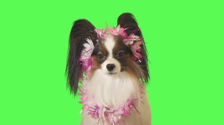 obediente : Beautiful dog Papillon in a garland of flowers shakes his head on green background stock footage video