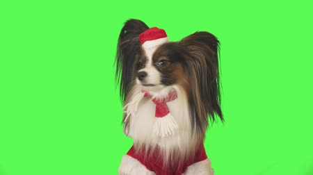 trikolóra : Beautiful dog Papillon in Santa Claus costume is looking intently at the camera on green background stock footage video