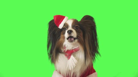 Beautiful dog Papillon in Santa Claus costume is talking and running away on the green background stock footage video