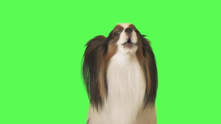 trikolóra : Beautiful dog Papillon is talking to the camera on green background stock footage video