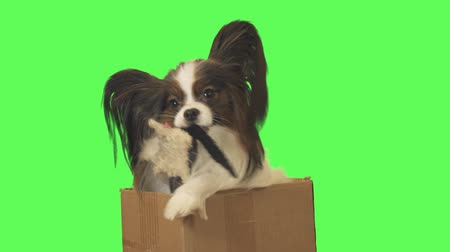 Beautiful dog Papillon in a cardboard box pulls out a toy and jumps out on green background stock footage video Стоковые видеозаписи