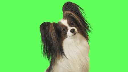 trikolóra : Beautiful dog Papillon is looking intently at the camera on green background stock footage video Dostupné videozáznamy