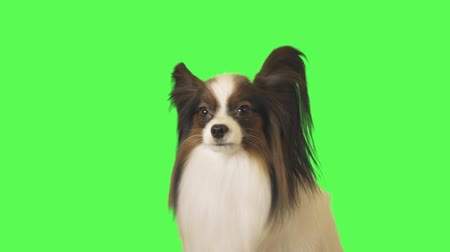 üç renkli : Beautiful dog Papillon is talking and running away on the green background stock footage video