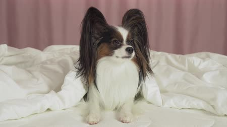 Beautiful dog Papillon lies under a blanket on the bed and looks around stock footage video