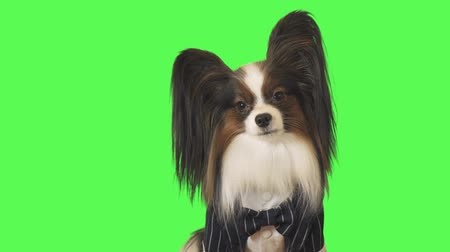 Beautiful dog Papillon in a business suit with a bow tie is looking intently at the camera on green background stock footage video Стоковые видеозаписи