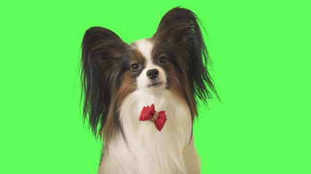 tv channel : Beautiful dog Papillon with a red bow is looking at camera and runs away on green background stock footage video