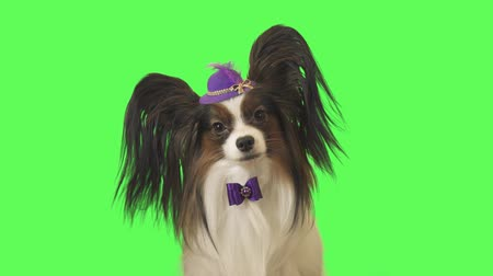 özenli : Beautiful dog Papillon in a purple hat with a feather and bow is looking at camera on green background stock footage video Stok Video