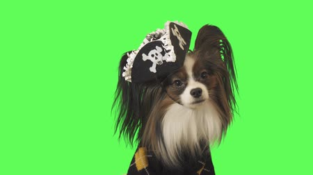 obediente : Beautiful dog Papillon in a pirate costume is looking at camera on green background stock footage video Stock Footage
