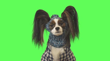Beautiful dog Papillon in clothes and hat is talking on green background stock footage video