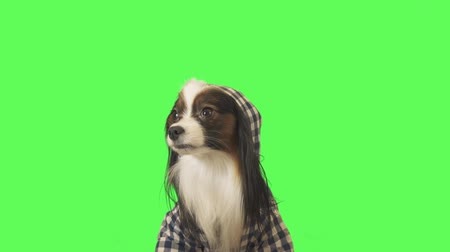 Beautiful dog Papillon in clothes with a hood looks around and runs away on green background stock footage video