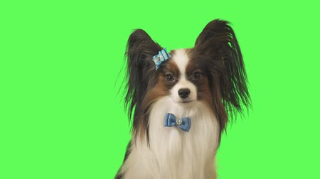 üç renkli : Beautiful dog Papillon with a blue bow is looking at camera on green background stock footage video