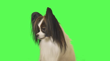 Beautiful dog Papillon looks around on green background stock footage video