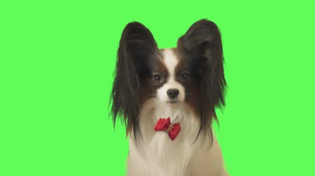 üç renkli : Beautiful dog Papillon with a red bow is looking at camera on green background stock footage video