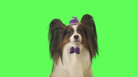 obediente : Beautiful dog Papillon in a purple hat with a feather and bow is talking on green background stock footage video