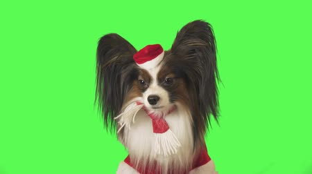Beautiful dog Papillon in Santa Claus costume shakes his head on the green background stock footage video Стоковые видеозаписи