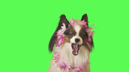Beautiful dog Papillon in a garland of flowers is talking to the camera on green background stock footage video Стоковые видеозаписи