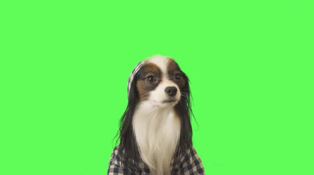 Beautiful dog Papillon in clothes with a hood is looking at camera on green background stock footage video