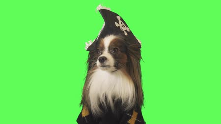 üç renkli : Beautiful dog Papillon in a pirate costume is looking at camera on green background stock footage video Stok Video