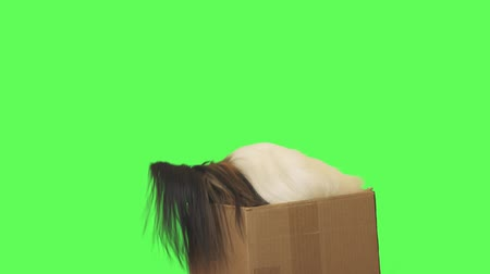 Beautiful dog Papillon pulls out a toy from a cardboard box on green background stock footage video