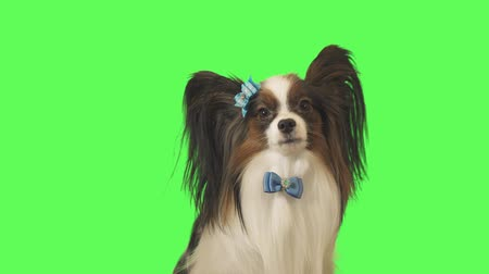 Beautiful dog Papillon with a blue bow is looking at camera on green background stock footage video