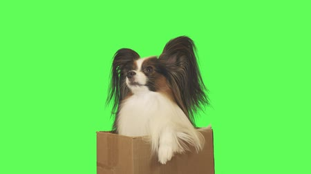 trikolóra : Beautiful dog Papillon in a cardboard box is looking at camera on green background stock footage video
