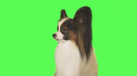 Beautiful dog Papillon is talking to the camera on green background stock footage video